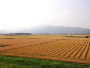 さむらいす 小麦